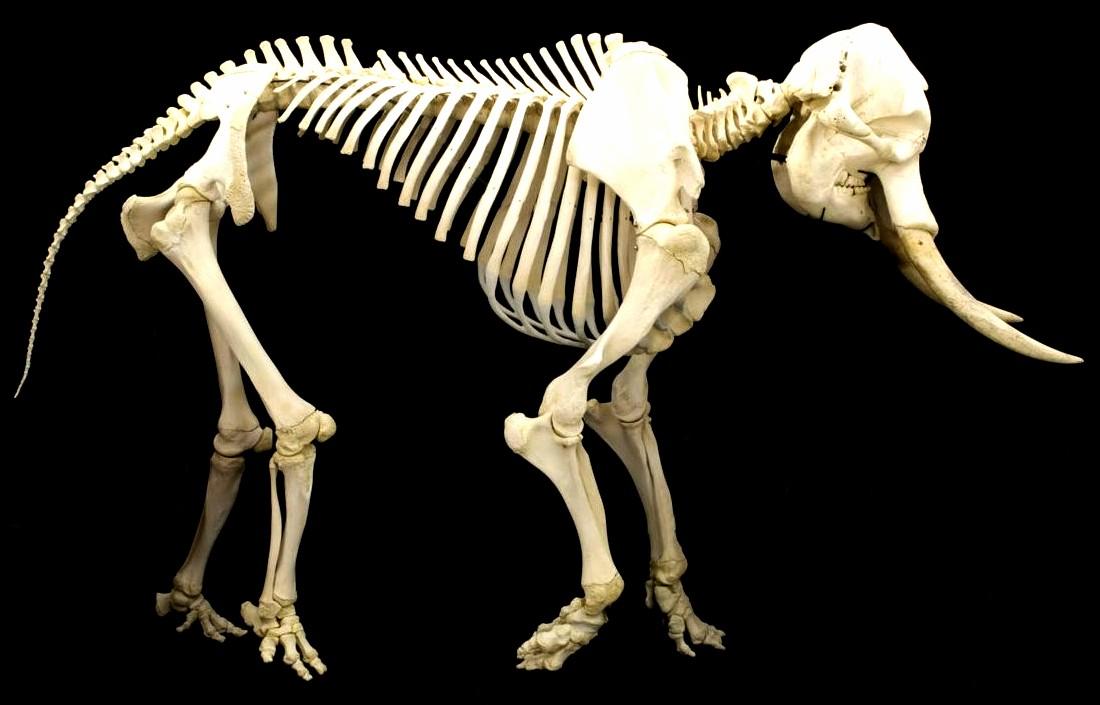 Elephant_skeleton